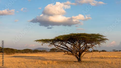 Leinwandbild Motiv Schirmakazie in der Massai Mara