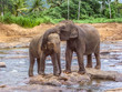 elephants in the river in Pinnawella - 234457411