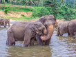 elephants in the river in Pinnawella - 234457436