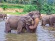 elephants in the river in Pinnawella - 234457436
