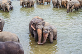 elephants in the river in Pinnawella - 234457469