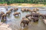 hugging elephants in the river in Pinnawella - 234457498