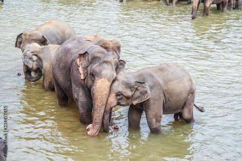 elephants in the river in Pinnawella