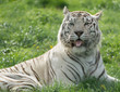 White tiger with tongue sticking out sitting on grass