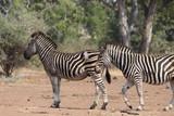 Zebras in South Africa - 234459808
