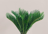 Exotic palm plant on light background.