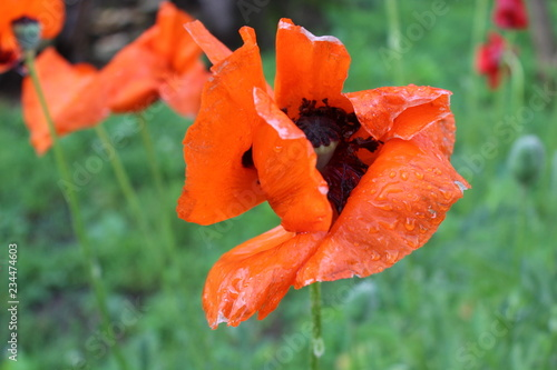 Orange poppy flower in backyard garden - 234474603