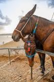 Traditional Donkey on Stairs in Thira, Santorini Island, Greece - 234487272