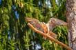 Leinwanddruck Bild - Greifvogel
