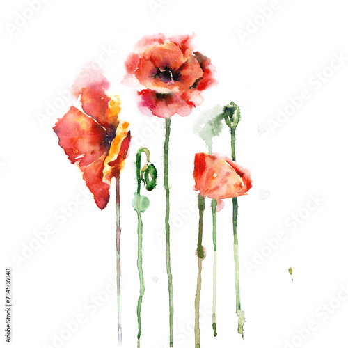 red poppies isolated on white background - 234506048