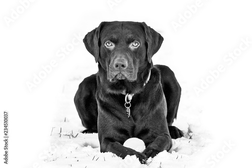 Adult Chocolate Labrador Retriever posing outdoors in snow in black and white