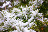 fir branches in the snow