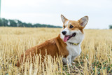 Cute and active purebred Welsh Corgi dog, smiles with tongue, outdoors in the grass on a sunny autumn day. © Irina