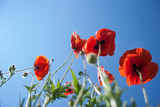 wild red poppies flowers against blue sky