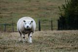 Woolly large sheep