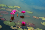 Blooming lotuses on water surface of a pond