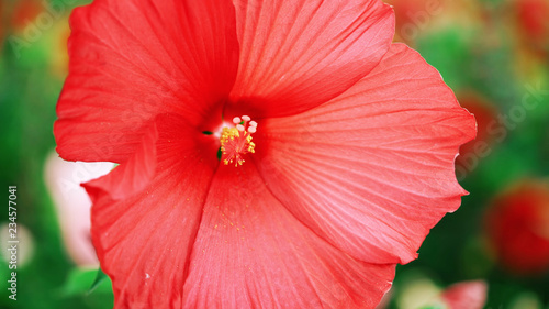 red hibiscus flower - flower, red, nature, pink, tulip, - 234577041