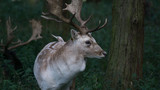 Fallow deer stag standing in the forest by a tree head and shoulder shot