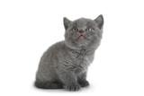 Scottish Fold gray cat © Leonid Nyshko