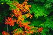 Autumn leaves in Quebec