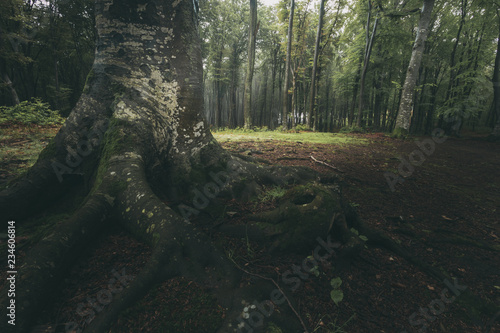 Dark tree roots in foggy forest. Magic light in the background - 234606814