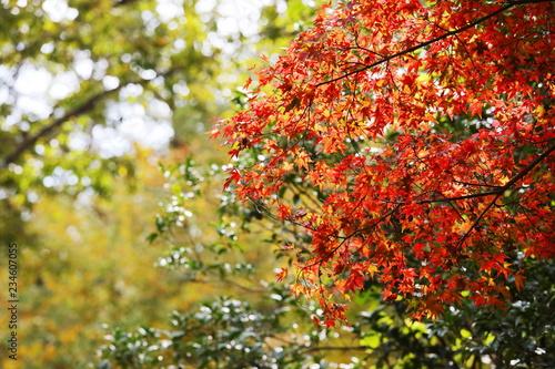 六甲山の美しい紅葉