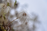 Clematis white autumn against nature macro © odadao