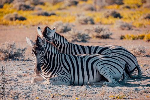 Zebra in bush, Namibia Africa wildlife - 234656017
