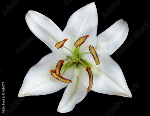 Bud White Lily With Green Stamens Fragrant Refined Flower With