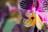Phalaenopsis orchid. Beautiful flowers macro. Selective focus © Gulsina
