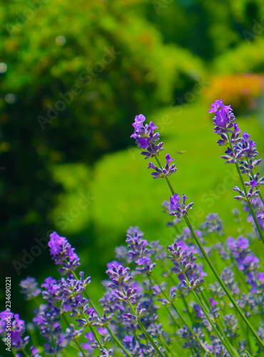 Beautiful violet wild Lavender backdrop meadow close up. French Provence field of purple lavandula herbs blooming.