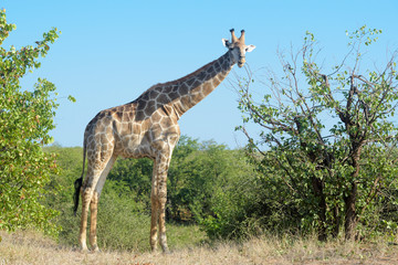 Giraffe (Giraffa camelopardalis), eating leaves from tree, Kruger National Park, South Africa