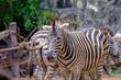 The zebra is running in the safari