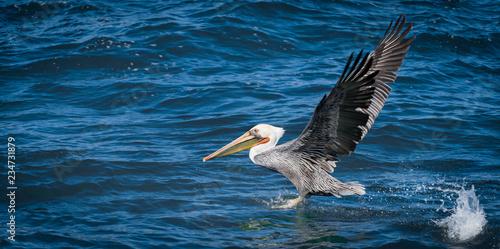 Leinwandbild Motiv Brown pelican taking off from water