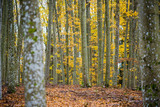 An autumn forest landscape. Close-up view of beech trees, green and golden leaves, Germany - 234739671