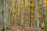 An autumn forest landscape. Close-up view of beech trees, green and golden leaves, Germany - 234739687