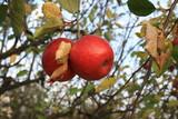 Czerwona jabłka na jabłoni w sadzie późną jesienią