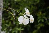 Orquídea 8 © Emanuelle