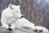 White wolf lying on a rock with its eyes closed in light snowfall