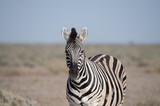 A Plains Zebra stands head on to the photographer with ears pricked.