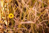 Ringelblume zwischen Grashalmen © Jonas