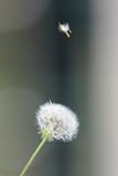 Dandelion seeds in the morning sunlight © Aleksandar