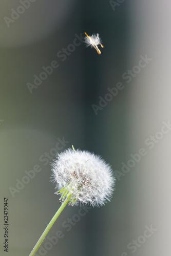 Dandelion seeds in the morning sunlight - 234790447