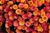 Many beautiful small bright orange-red flowers. - 234834666