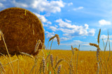 Cornfield with wheat a straw bale and bright blue sky and ears of wheat - 234841488