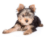 Yorkshire Terrier puppy lying in front view. isolated on white background © Ermolaev Alexandr