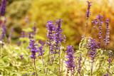 Ziersalbei, Salvia nemorosa   - 234851087