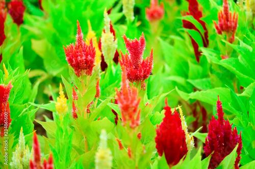 Leinwandbild Motiv Celosia flower bouquet is bloom in the garden during the summer