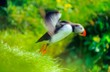 Leinwandbild Motiv Papageitaucher/ Puffin (Fratercula arctica) fliegt aus Gras auf Steilküste, Reynisfjall, Vík í Mýrdal, Suðurland, Island, Europa
