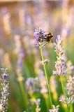 bee on flower © Karlos MigFor